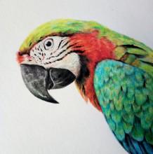 精美逼真的鹦鹉彩铅上色绘画教程图片 带上色步骤演示