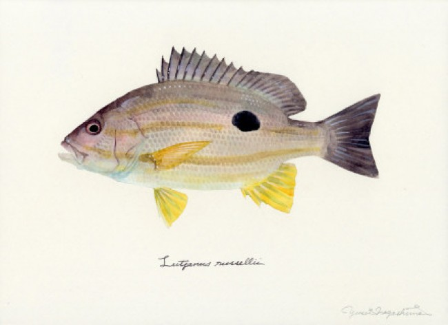 大神级各种鱼的水彩画作品图片日本水彩画大师Yusei Nagashima 水彩画