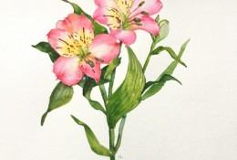 六出花智利百合水彩画手绘教程图片 六出花水彩画怎么画 六出花的画法