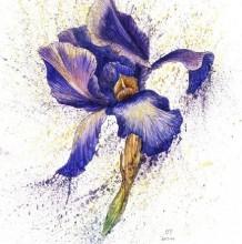 鸢尾花水彩画手绘教程图片 鸢尾花的水彩画画法 鸢尾花怎么画