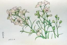 飞燕草彩铅手绘教程图片 飞燕草彩铅的画法 飞燕草彩铅怎么画