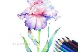 鸢尾花彩铅画手绘教程图片 鸢尾花彩铅怎么画 鸢尾花彩铅的画法