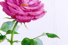 月季水彩画手绘教程图片 月季水彩画画法 月季花的水彩画怎么画