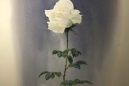 超美的一枝白玫瑰水彩画图片 单枝白玫瑰花水彩手绘教程画法