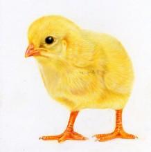 逼真的小鸡宝宝彩铅画手绘教程图片 小鸡彩铅画画法 小鸡怎么画