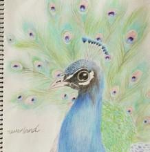 孔雀彩铅画教程 孔雀手绘教程图片 孔雀怎么画 孔雀的画法