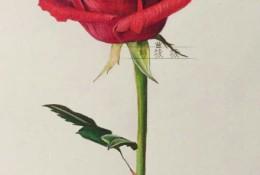 一枝红色玫瑰花彩铅画教程手绘图片 单枝红色玫瑰花怎么画 唯美逼真画法