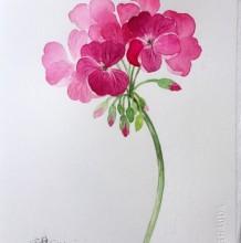 天竺葵花水彩画图片 天竺葵画水彩手绘教程 天竺葵怎么画 画法