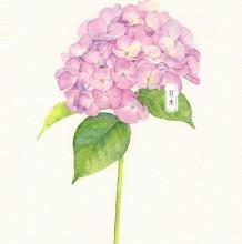 粉色绣球花水彩画图片 粉色绣球花水彩画手绘教程 绣球花水彩怎么画 画法