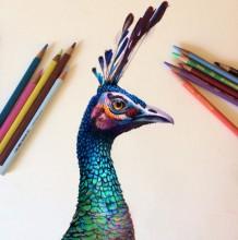 孔雀彩铅画图片 孔雀彩铅手绘教程上色步骤 逼真孔雀怎么画 孔雀的画法