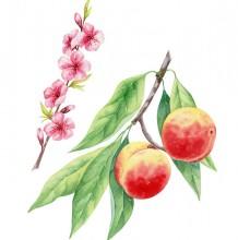 桃子水彩画画法 桃子水彩怎么画 桃子水彩手绘教程图片