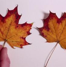 【视频】超写实枫叶水彩手绘视频教程 真实感的枫叶水彩怎么画 枫叶画法