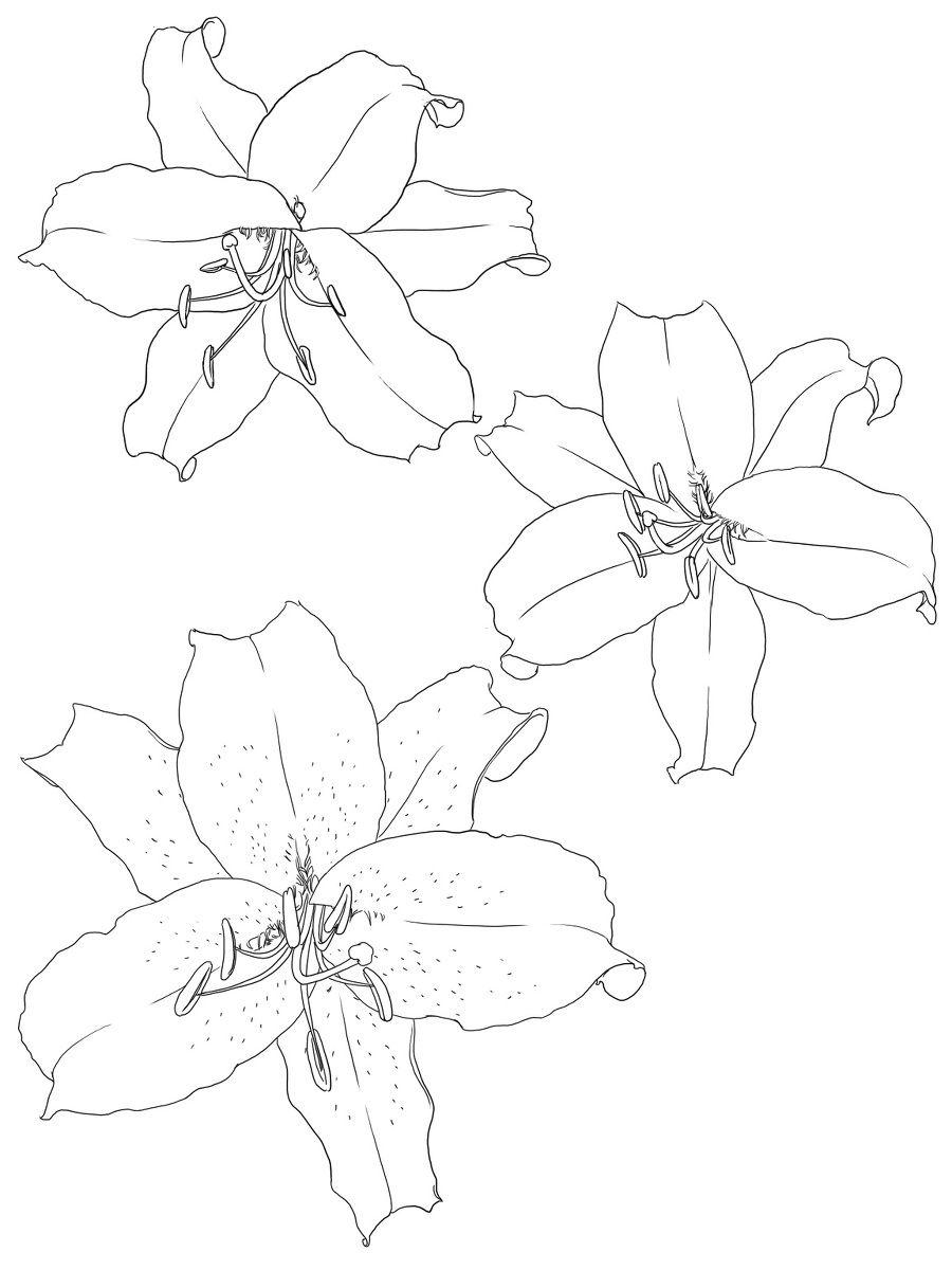 简单百合花绘画教程 美丽纯洁百合花线稿漫画素材绘画