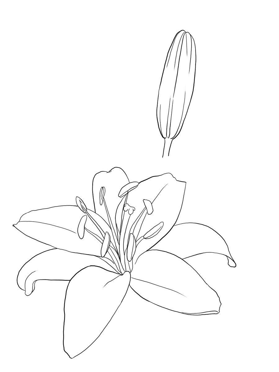 百合花,小伙伴们是否喜欢呢?喜欢的朋友可以一起来学习哦! 首先,绘画百合花前,小伙伴们要先了解百合花的特征。百合又称倒仙,是多年生草本,花瓣多为单数,颜色多为淡白色;其次,先画百合花的花径,然后画百合的花瓣;最后画百合花的叶子。具体的绘画步骤小编就不一一写出来了,用文字写出来,小伙伴们可能会比较难理解。小伙伴们可以根据下面简单素材绘画教程一边看一边画,看这些素材教程还是不太明白的话,小伙伴们可以上网查查更好的绘画步骤哦!   来源:微博/网络  原作者:@ 图片水印